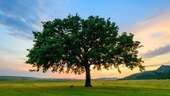oak-tree-sunset-iStock-477164218.jpg